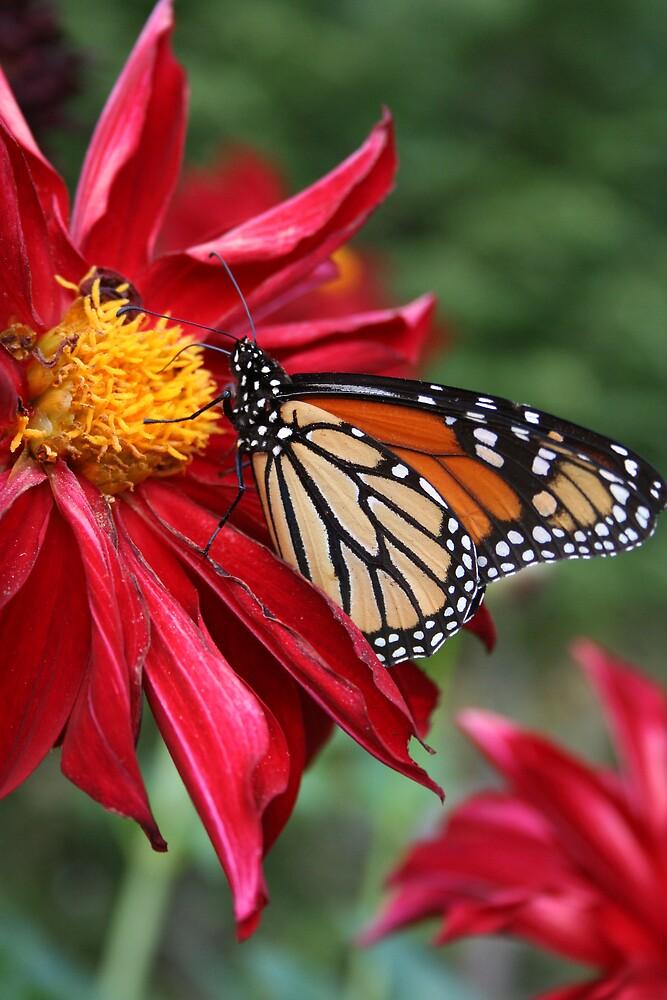 Monarch and Dalhlias by Karen Kaleta