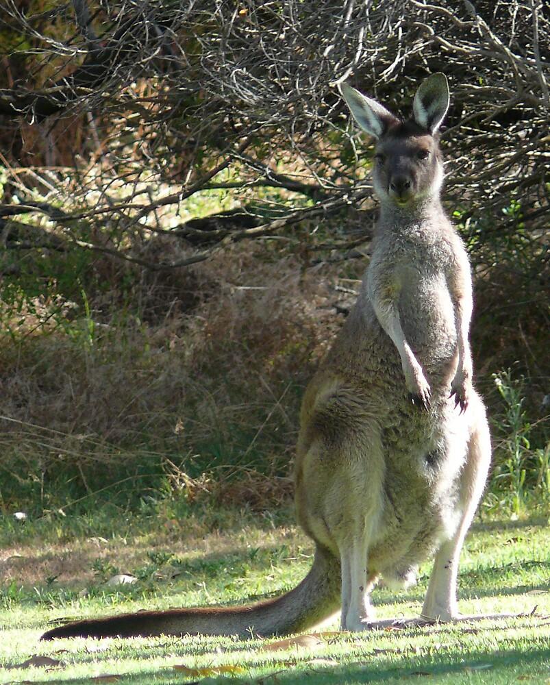 kangaroo,small grey by robinof