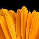 Yellow Gerbera by Janine  Hewlett