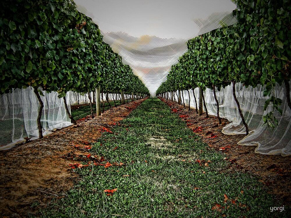 Vineyard by yorgi