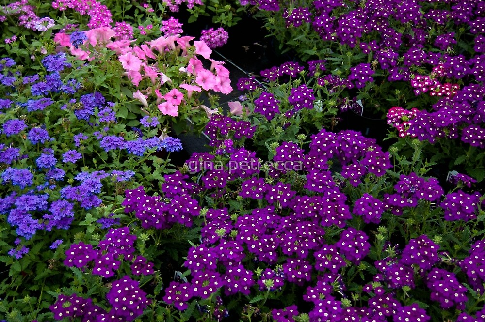 purple and pink flowers by gina petrecca