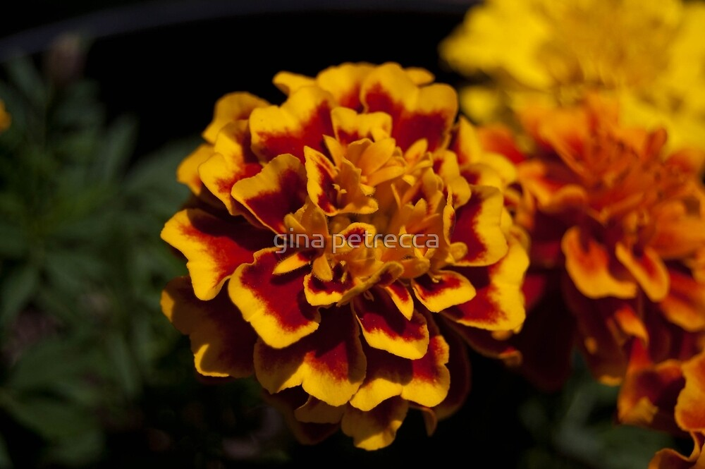 red and yellow marigold by gina petrecca
