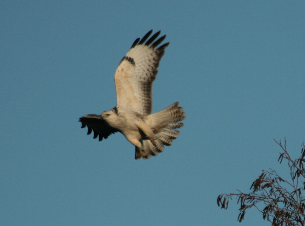 Common Buzzard by mhotting