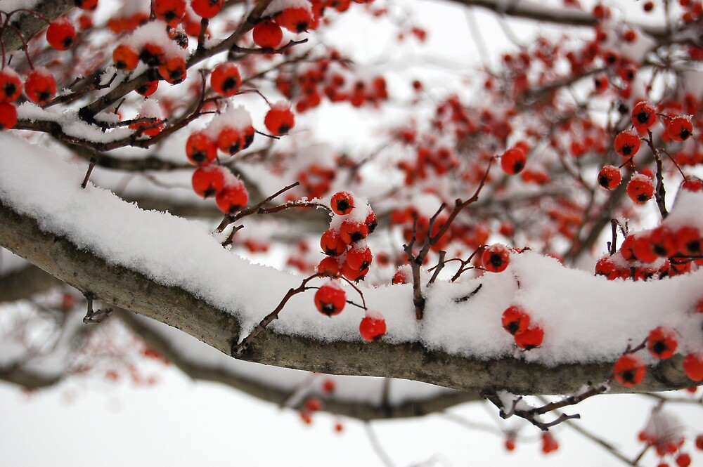 cherries and snow by swimchk512
