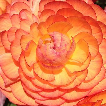 Vibrant Full Blooming Rose by LyndaAnneArt