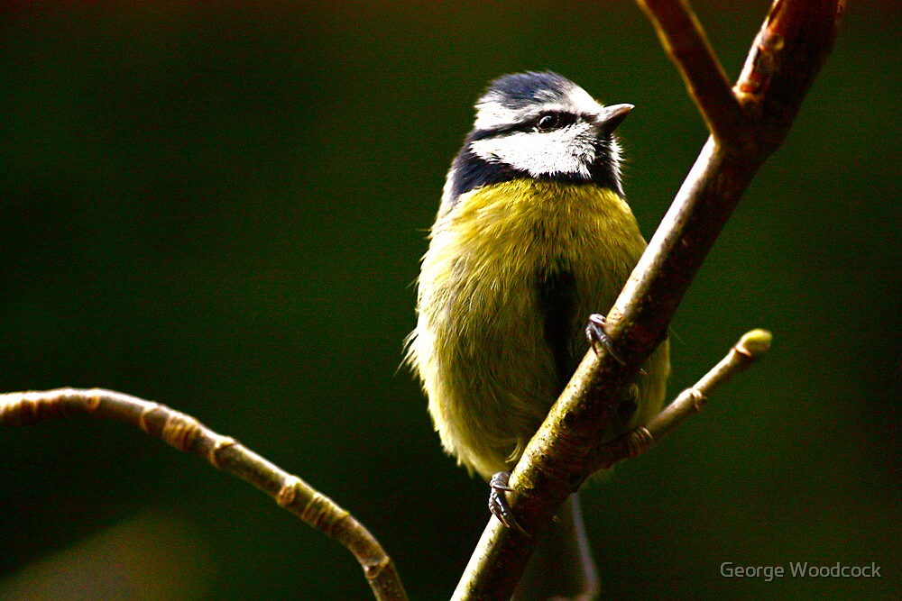 blue tit by George Woodcock