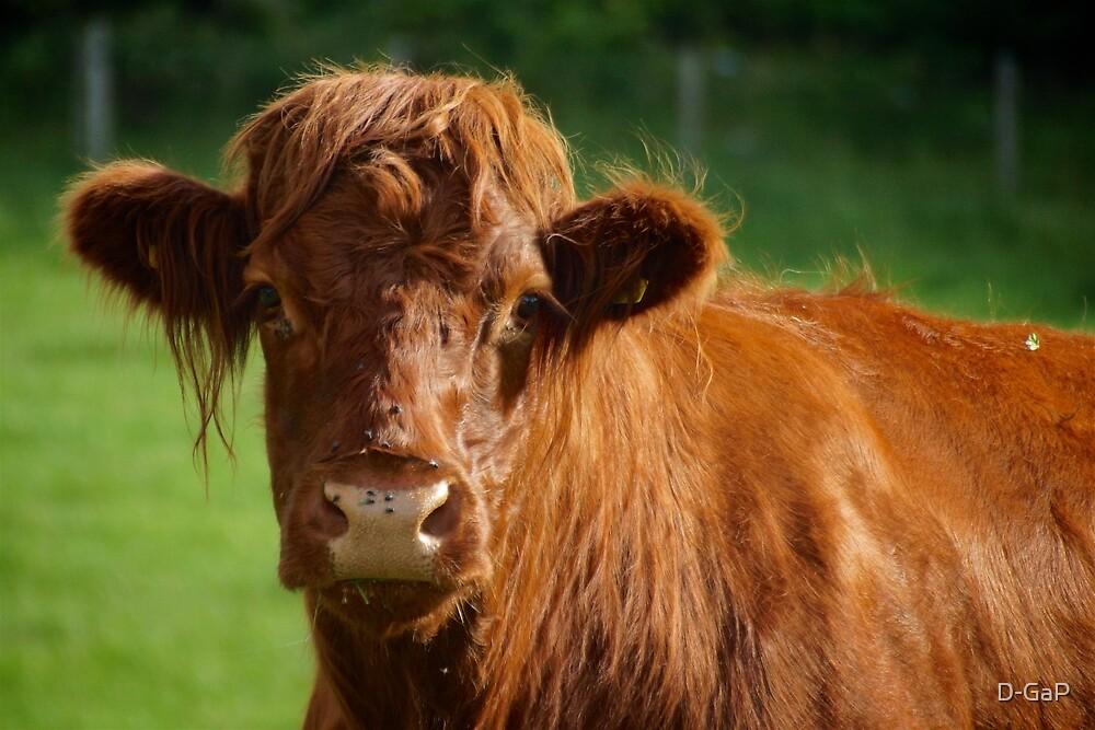 Scottish Highland Cattle  by D-GaP