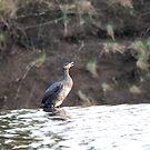 Thirsty Cormorant! 4 by dougie1