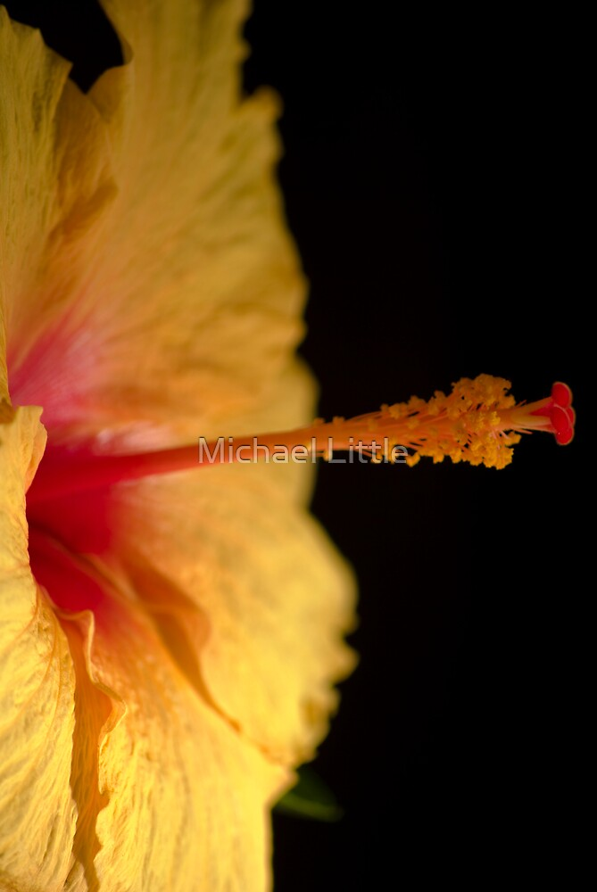 Yellow Hibiscus by Michael Little