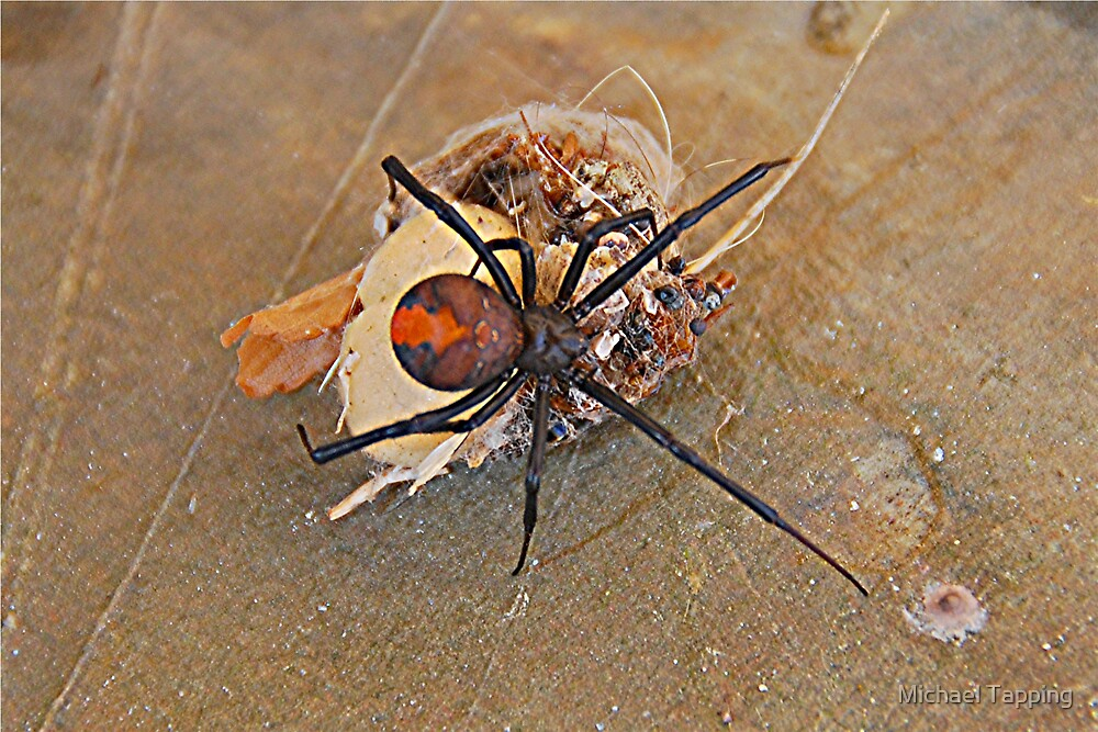 Australian Redback Spider. by Michael Tapping