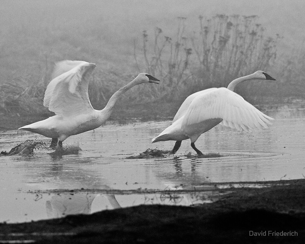 Swans in the Mist 1 by David Friederich