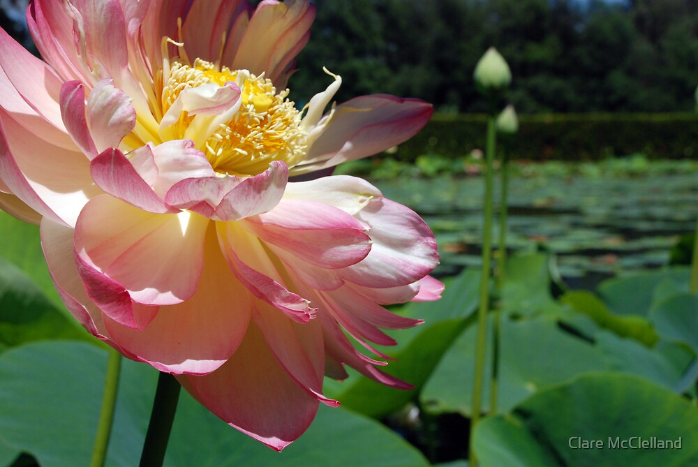 Blowsy Lotus Flower 1 by Clare McClelland