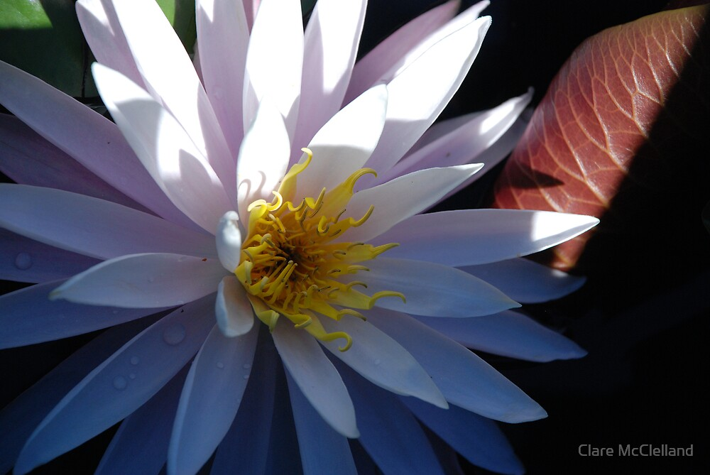Lotus Beauty by Clare McClelland