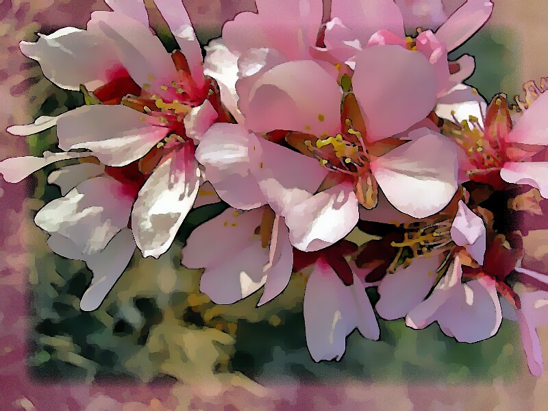 Pink Blossoms... by Rikki