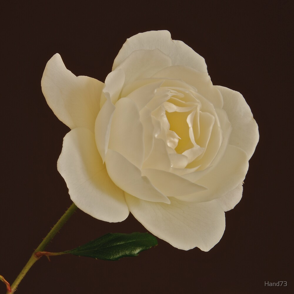 White Rose by Hand73