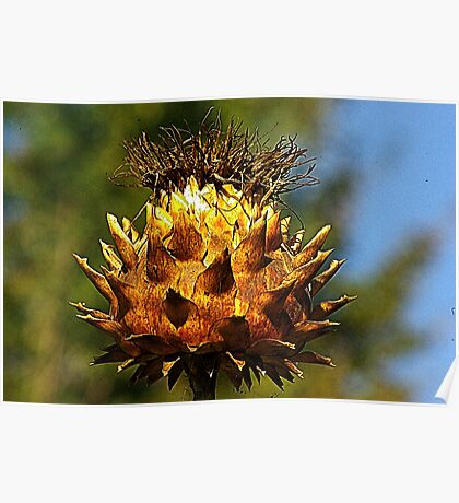 Dried Seed Head Poster