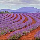 Lavender Contours - Bridestowe Estate, Tasmania by TonyCrehan