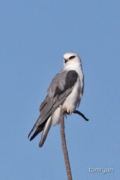 White-tailed Kite by tomryan