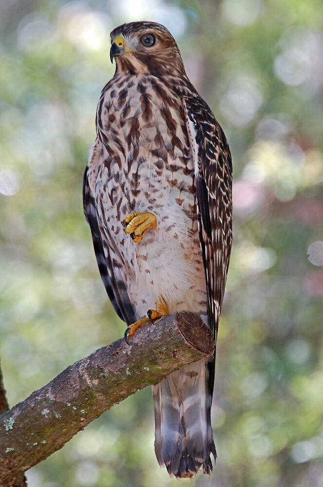 Red Shouldered Hawk by bvphotography