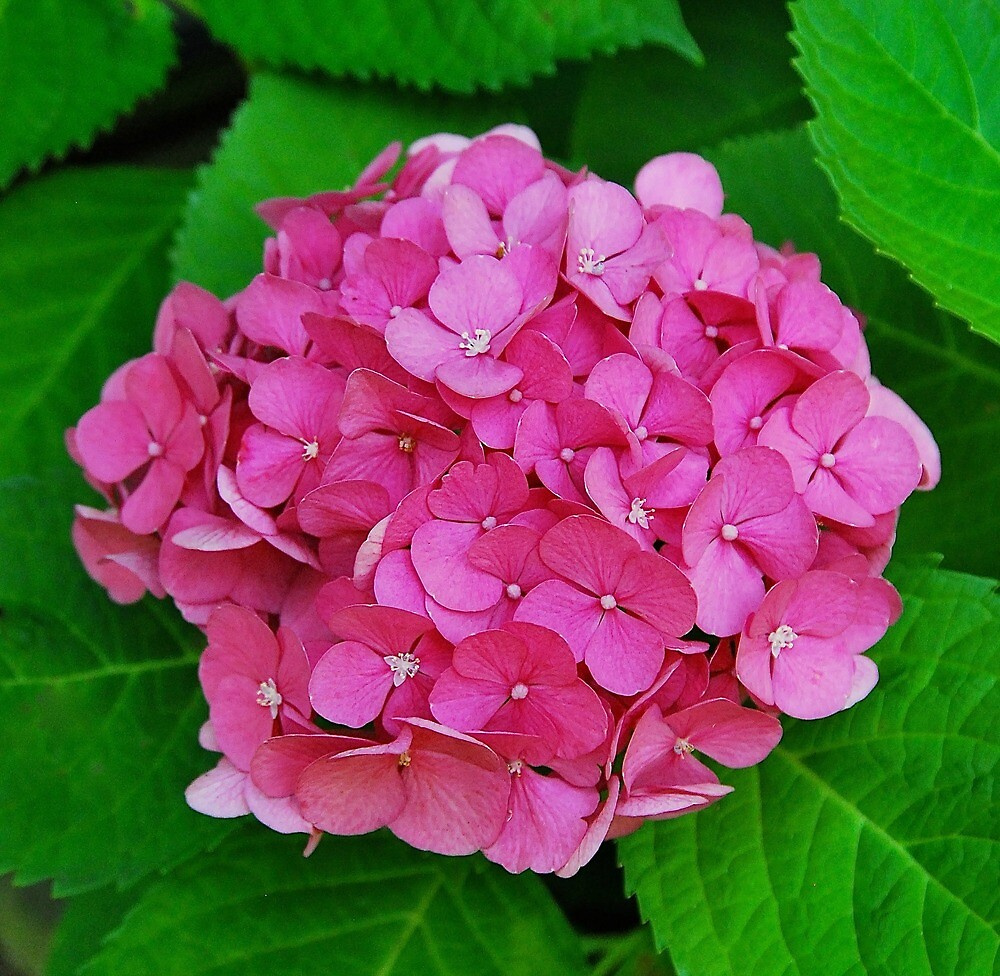 Hydrangea in Pink by Penny Smith