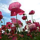 Pink Poppies Blue Sky by Chrissy Ferguson