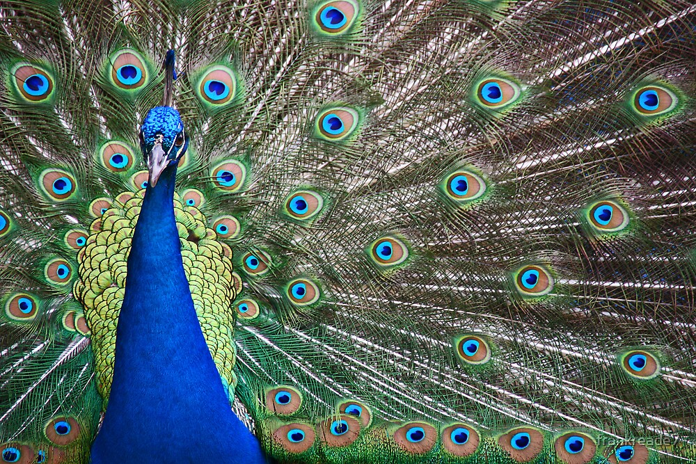 proud peacock by frankreade7