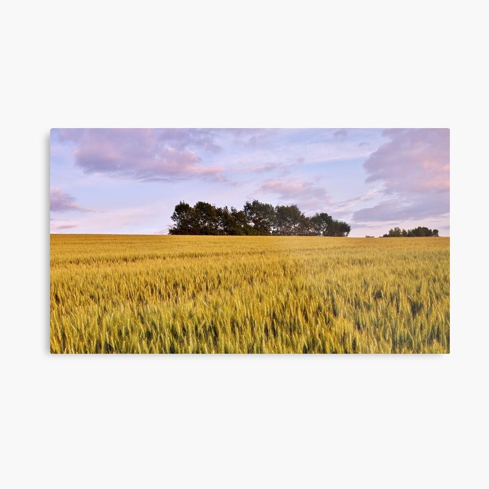 Wheat field at dusk Metal Print