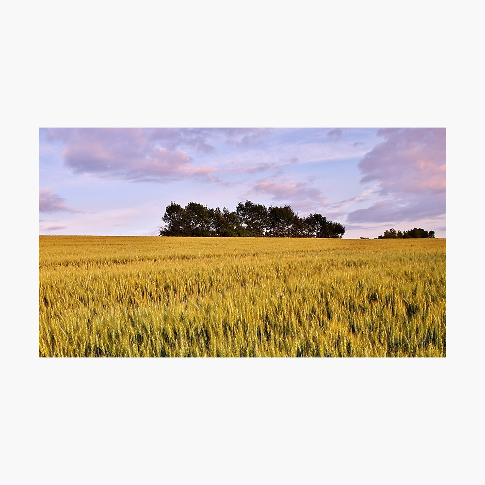 Wheat field at dusk Photographic Print
