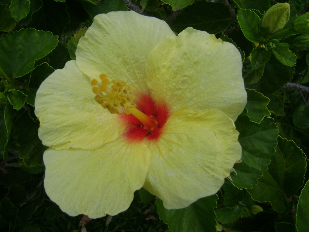 I've got the hibiscus now lets hula! by Amateur19