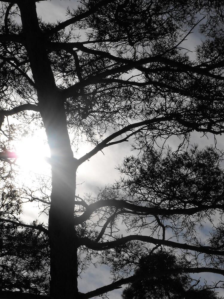 Pine Tree Silhouette by ArianaMurphy