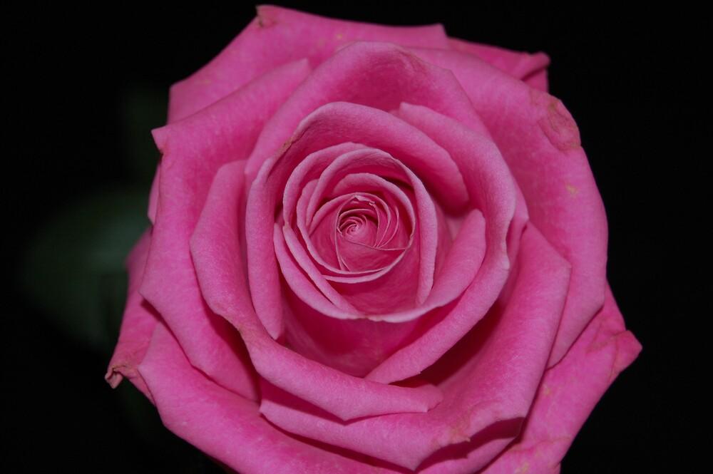 Rose by Angela Halliday