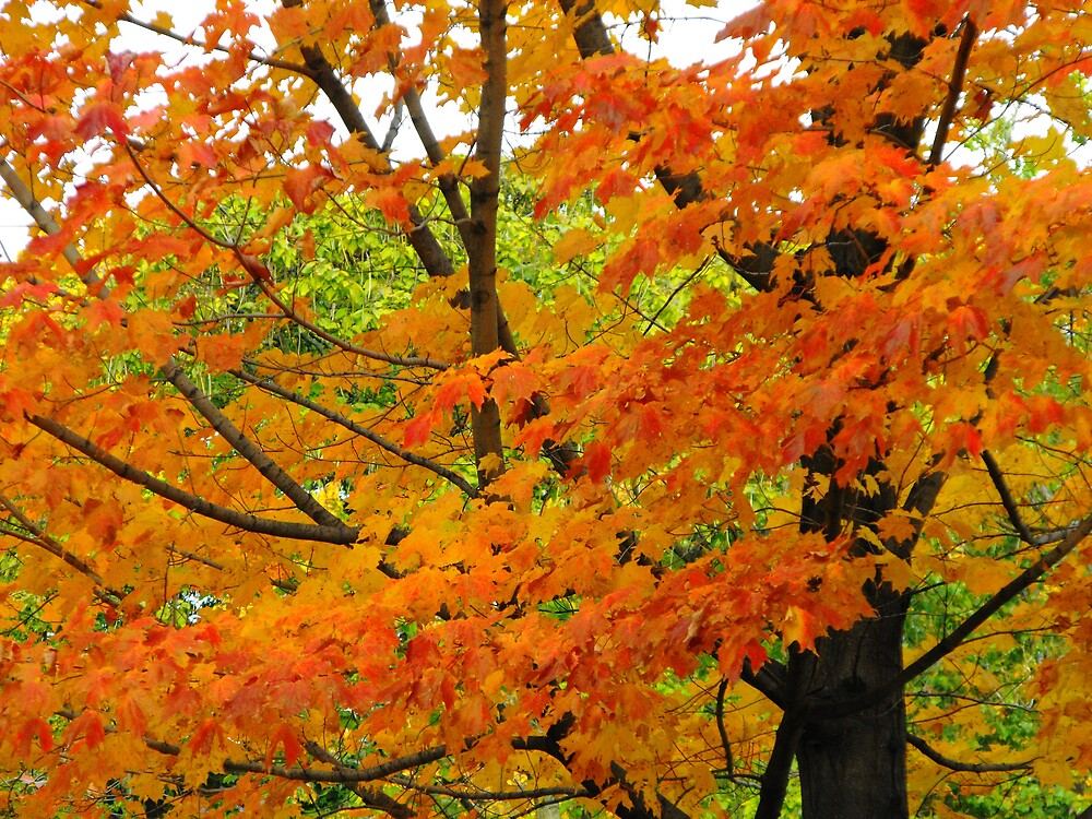 Flaming Maple by ArianaMurphy
