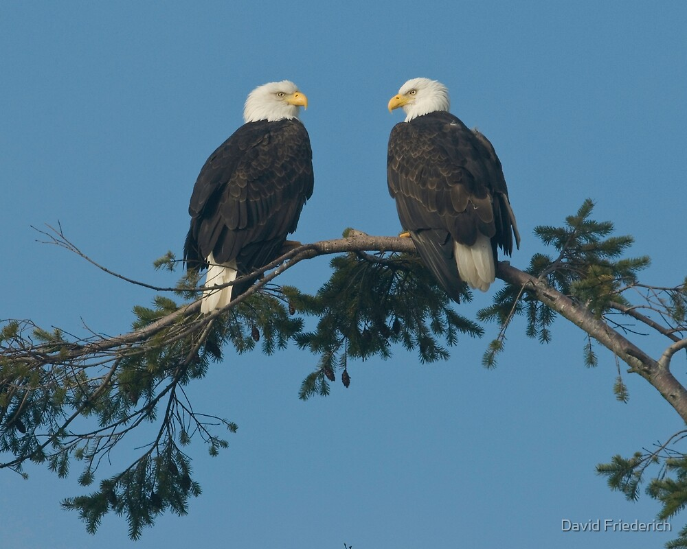 Pair of Eagles by David Friederich