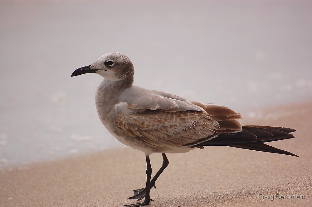 Brown Gull by Craig Bernstein