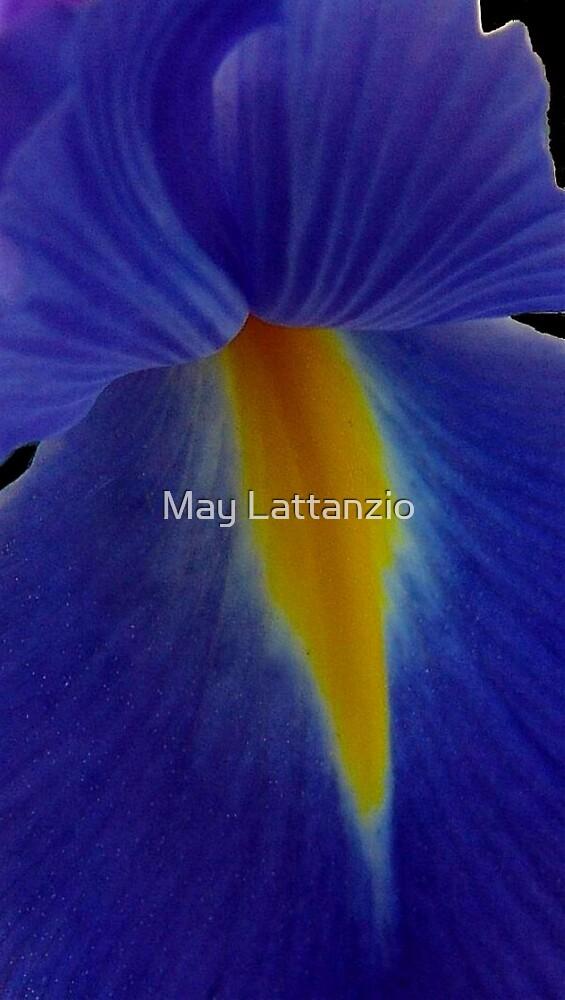 Blue iris by May Lattanzio