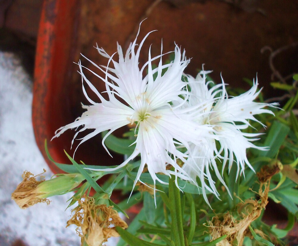 WHITE '' GHOST' '' DIANTHUS by Dalzenia Sams