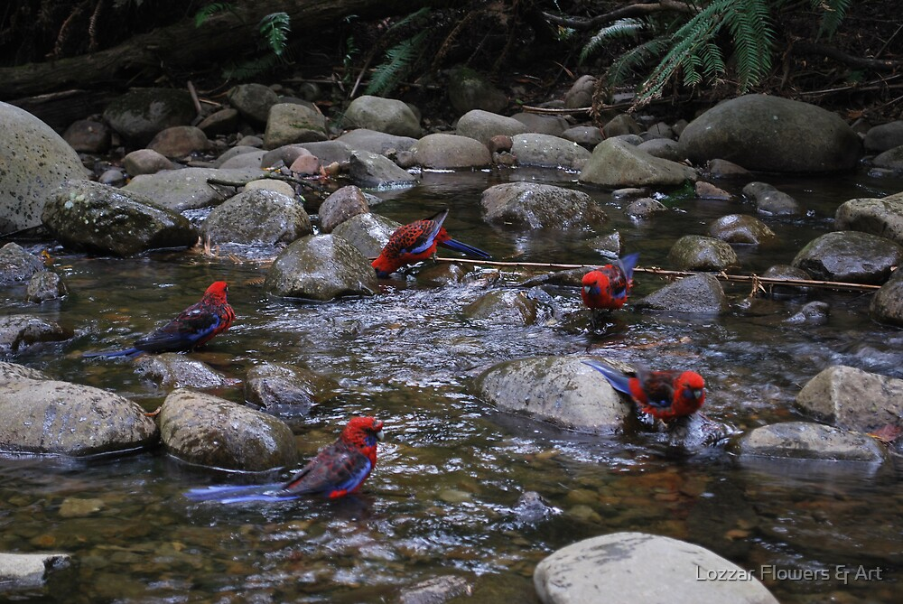 Circle of friends.  Parrots at Badgers Creek, Healsville Victoria.  by Lozzar Flowers & Art