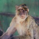 Gibraltar - Affenfelsen by Maurice Jelinski