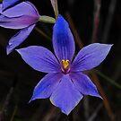 Thelymitra venosa by Colin12