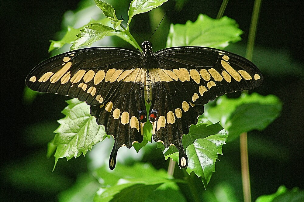 Giant Swallow Tail by bvphotography