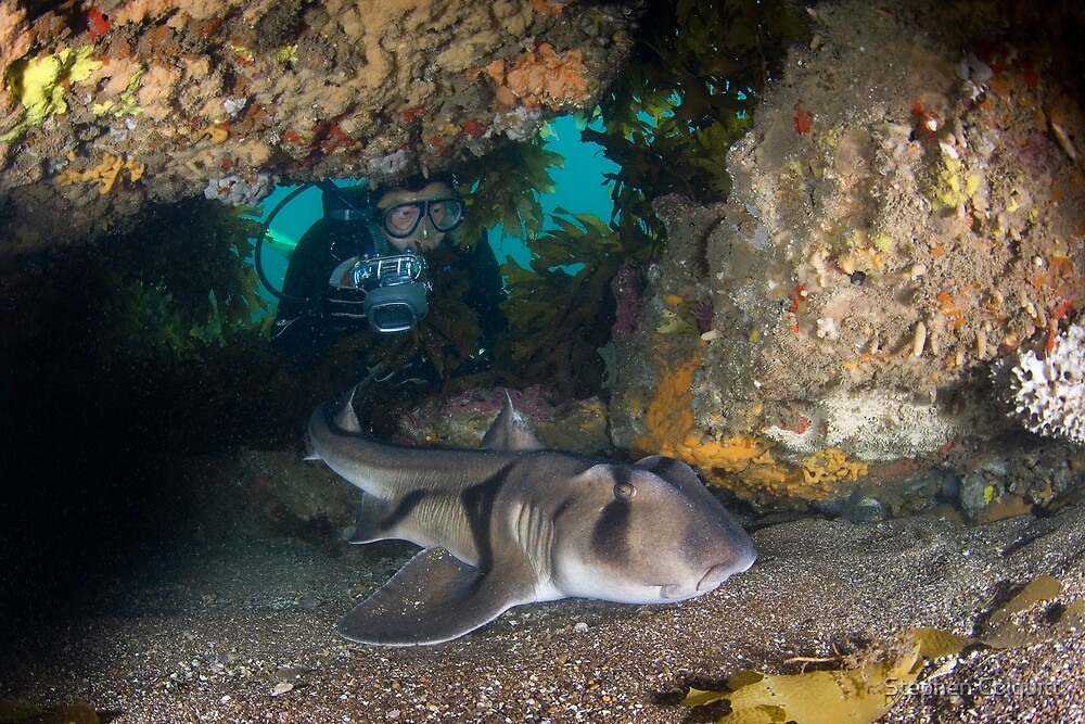 Port jackson shark in cave with diver by Stephen Colquitt