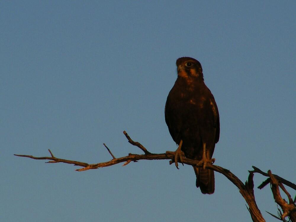 Hawks Eye by Antony Matzkov