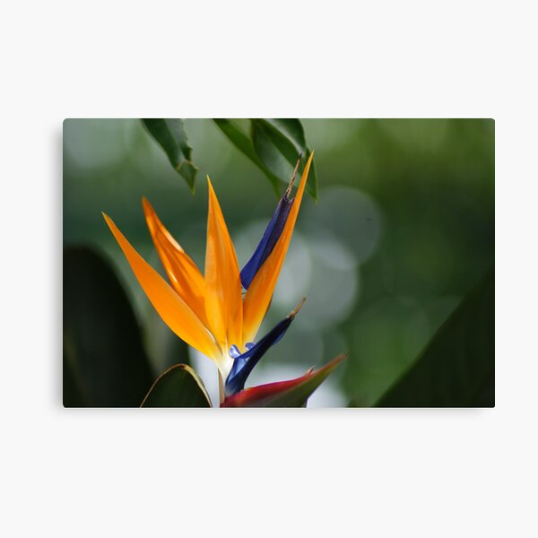 parrot flower Canvas Print