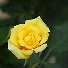 Yellow Rose by Neater