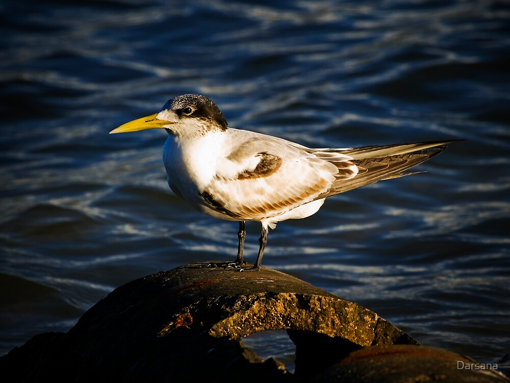 Crested Tern by Tony Steinberg