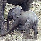 Little Jumbo under Mum's feet - Tanzania, Africa by Bev Pascoe