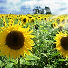 Sunflower field by Mikhail Lavrenov