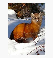 Pine Marten,(Sable) Photographic Print