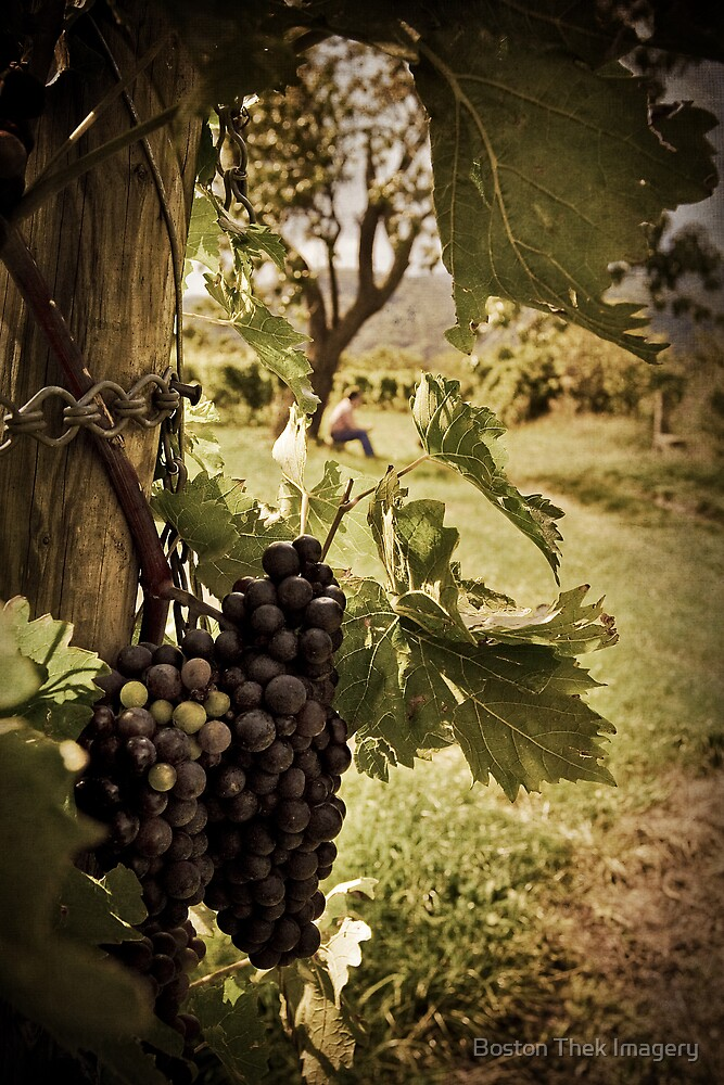 Waiting in the Vineyard by Boston Thek Imagery
