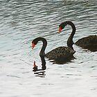 Black Swans at McLaren Falls Park, New Zealand by Deidre Eichler